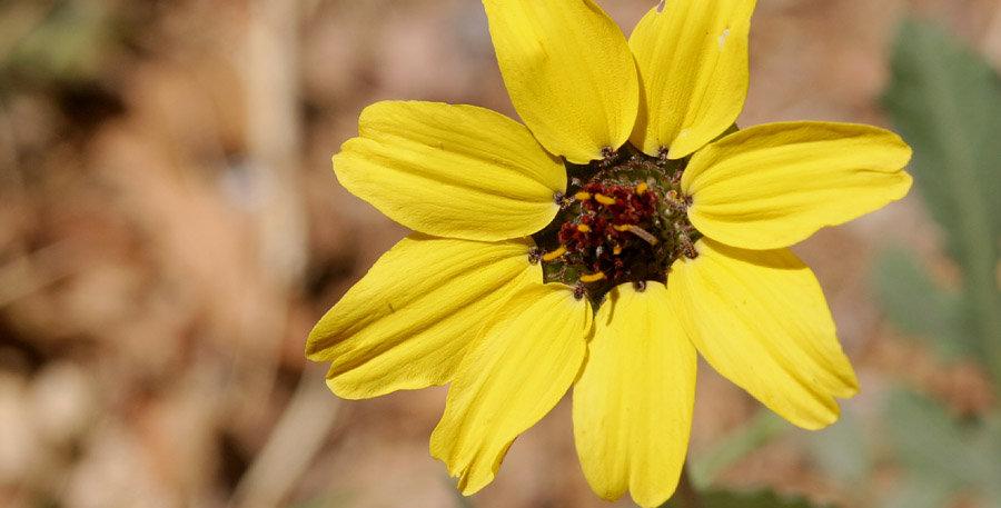 Chocolate Flower Seed, Berlandiera lyrata