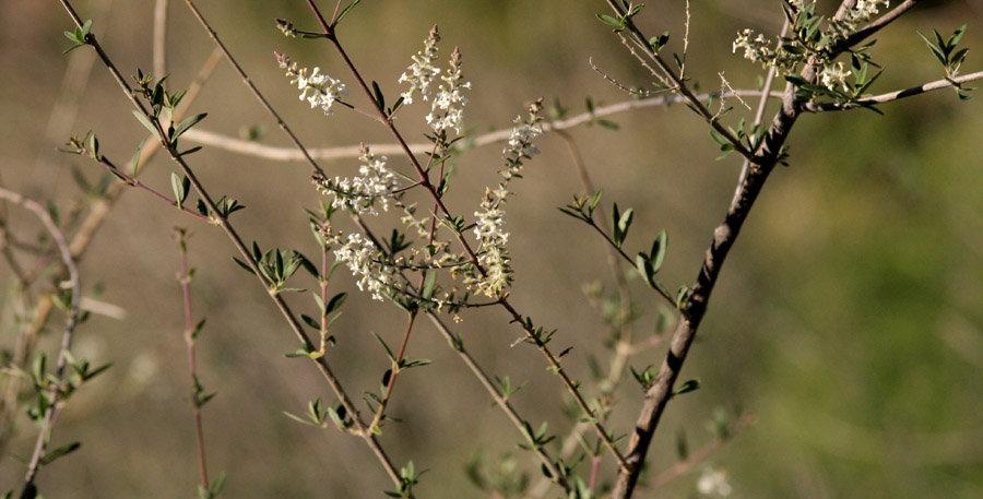 Whitebrush, Aloysia gratissima