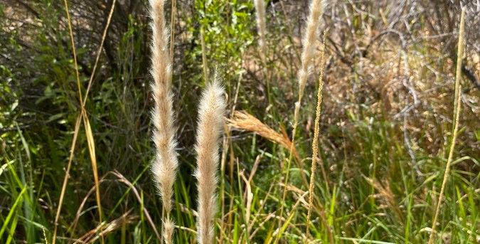 California Satintail, Imperata brevifolia