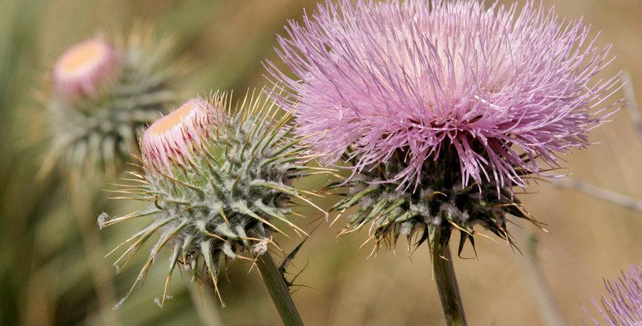 New Mexico Thistle, Cirsium neomexicanum