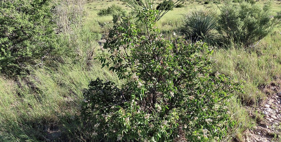 Evergreen Sumac, Rhus virens