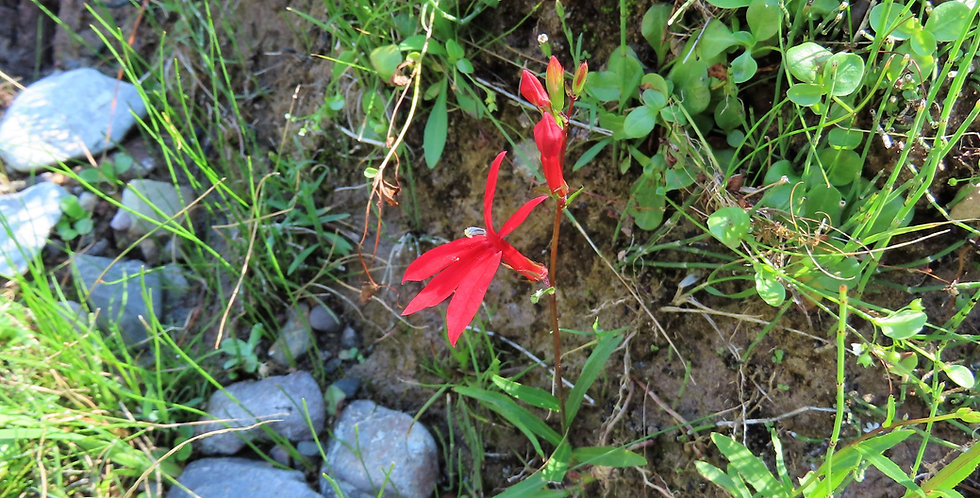 Cardinal Flower, Lobelia cardinalis