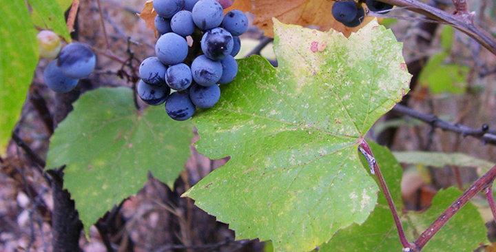 Arizona Grape, Vitis arizonica