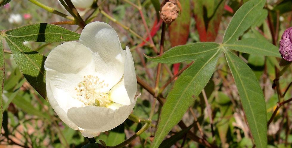 Desert Cotton Seed, Gossypium thurberi