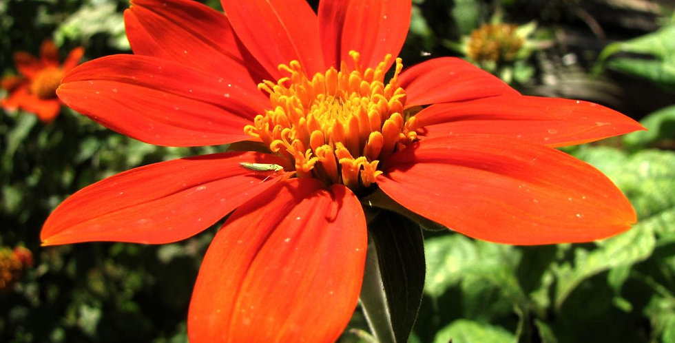 Red Mexican Sunflower Seed, Tithonia rotundifolia