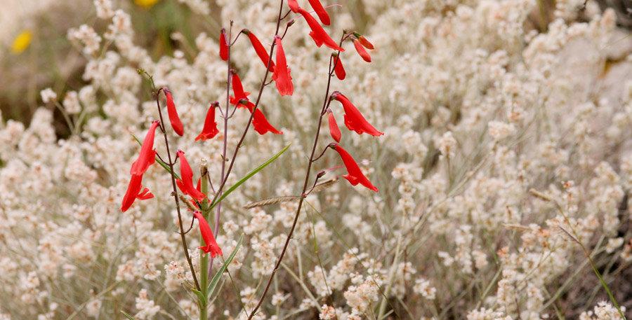 Beardlip Penstemon Seed, Penstemon barbatus