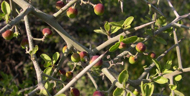 Graythorn, Ziziphus obtusifolia