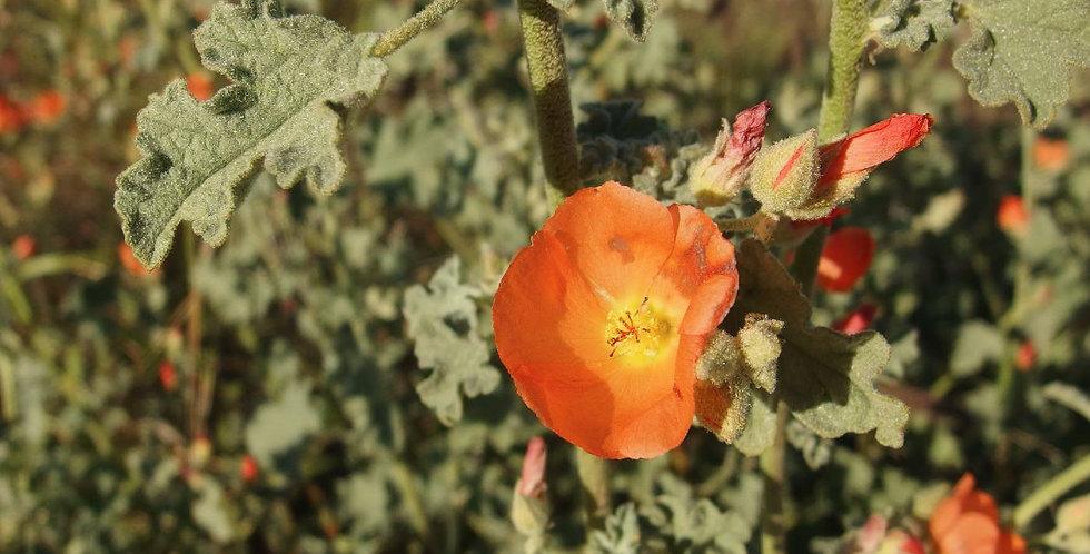 Desert Globemallow Seed, Sphaeralcea ambigua
