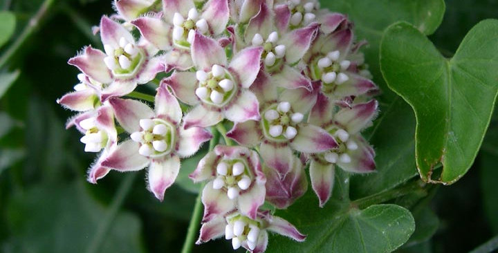 Climbing Milkweed, Funastrum cynanchoides