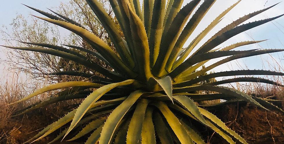 Palmer's Agave, Agave palmeri