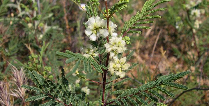 Prairie Acacia, Acacia angustissima