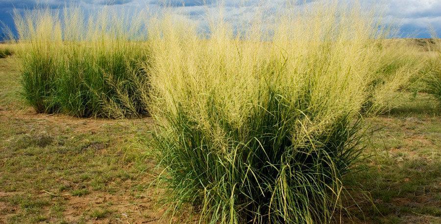 Giant Sacaton Seed, Sporobolus wrightii
