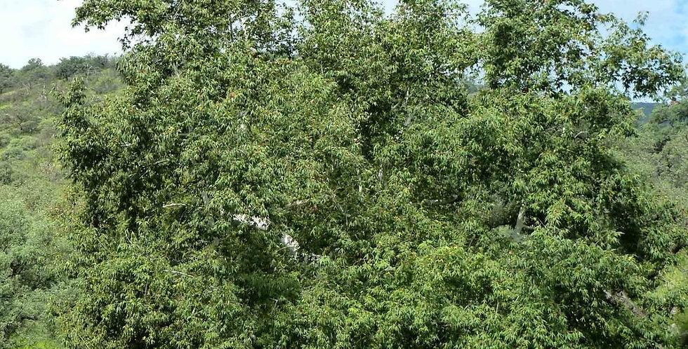 Arizona Sycamore, Platanus wrightii