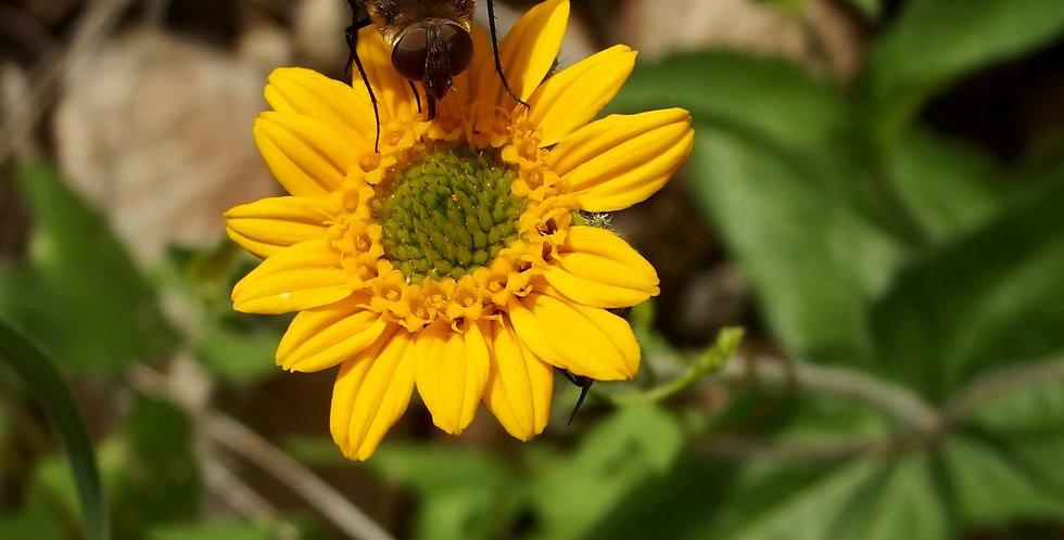 San Pedro Daisy, Lasianthaea podocephala