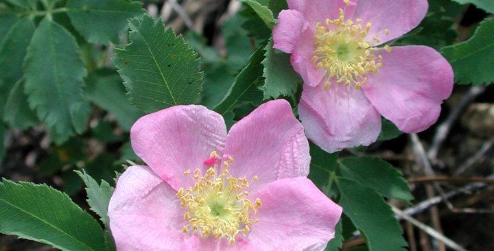 Wood's Rose, Rosa woodsii