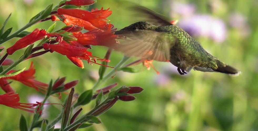Hummingbird Trumpet, Epilobium canum
