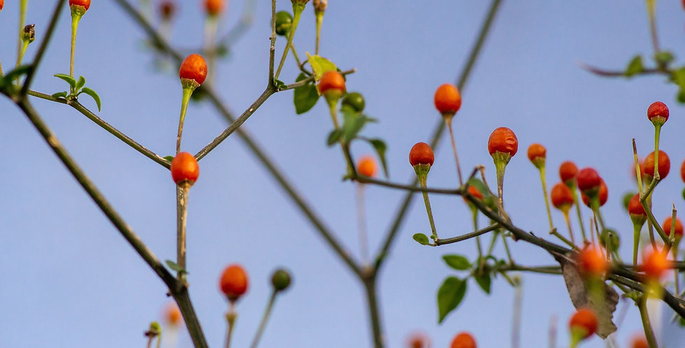 Chiltepin Seed, Capsicum annuum var. glabriusculum