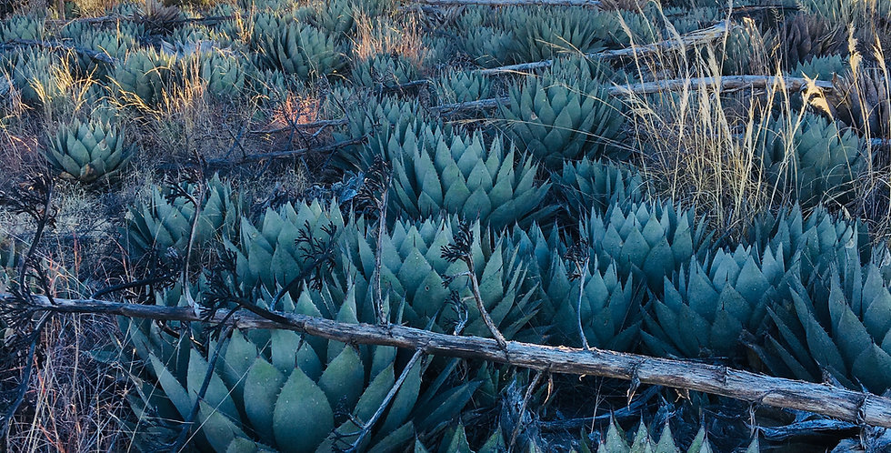 Huachuca Agave, Agave parryi