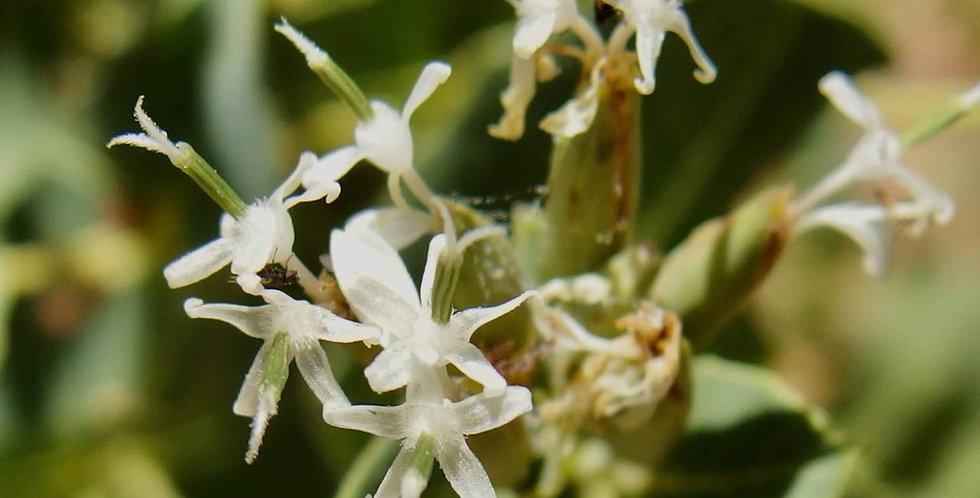 Papalotillo, Guardiola platyphylla