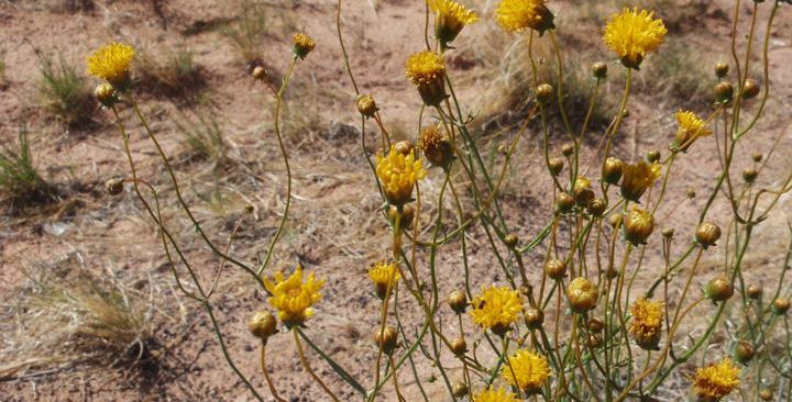 Hopi Tea, Thelesperma spp.