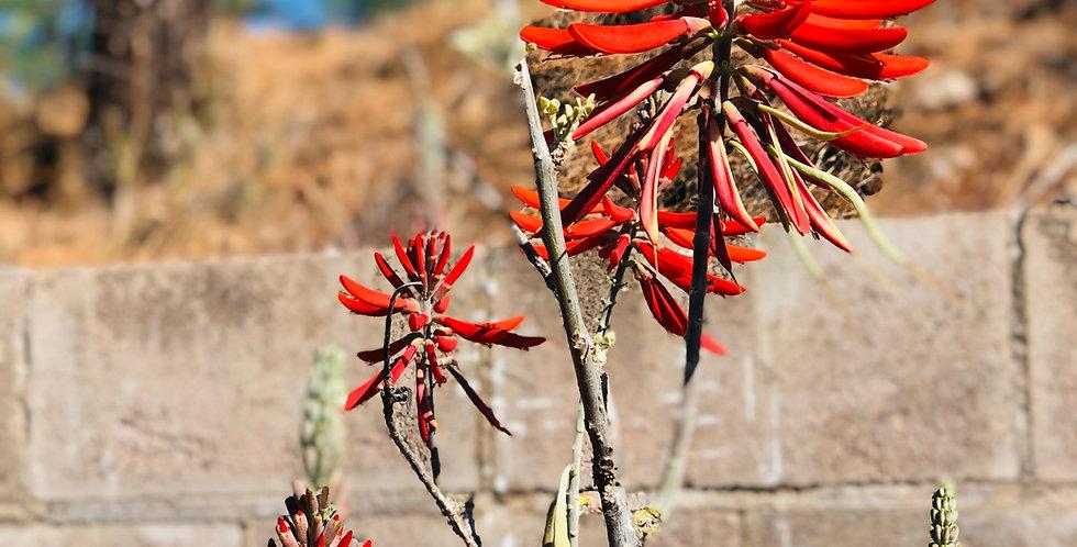 Coralbean, Erythrina flabelliformis