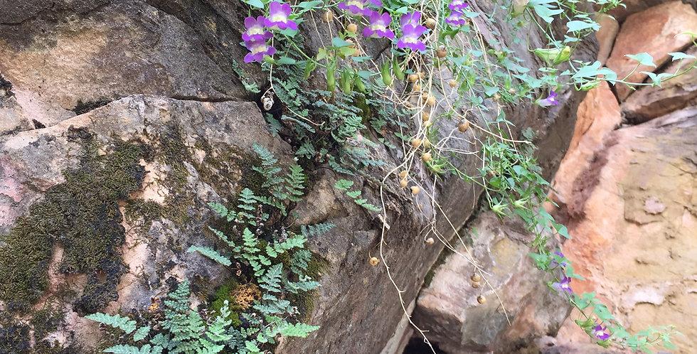Climbing Snapdragon, Maurandya antirrhiniflora