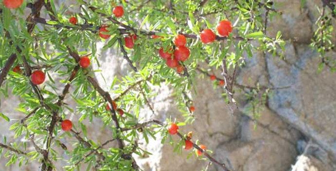 Berlandieri Wolfberry, Lycium berlandieri