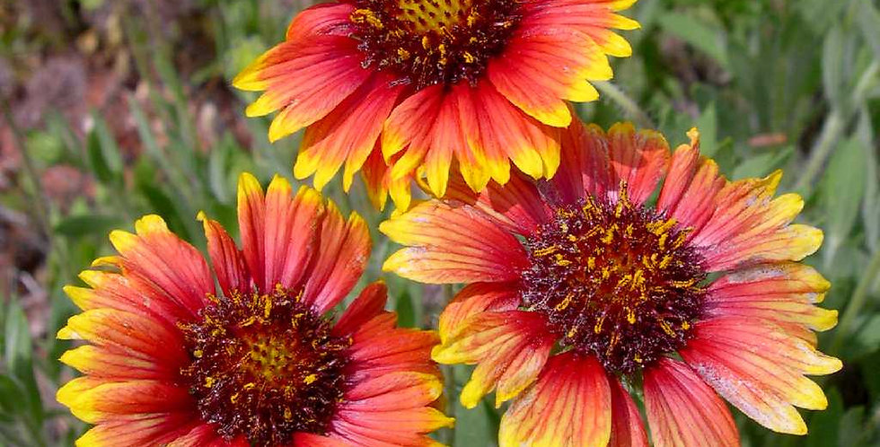 Firewheel Seed, Gaillardia Pulchella