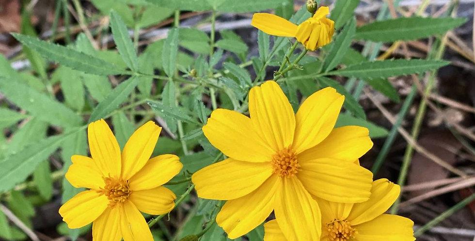 Lemmon's Marigold, Tagetes lemmonii