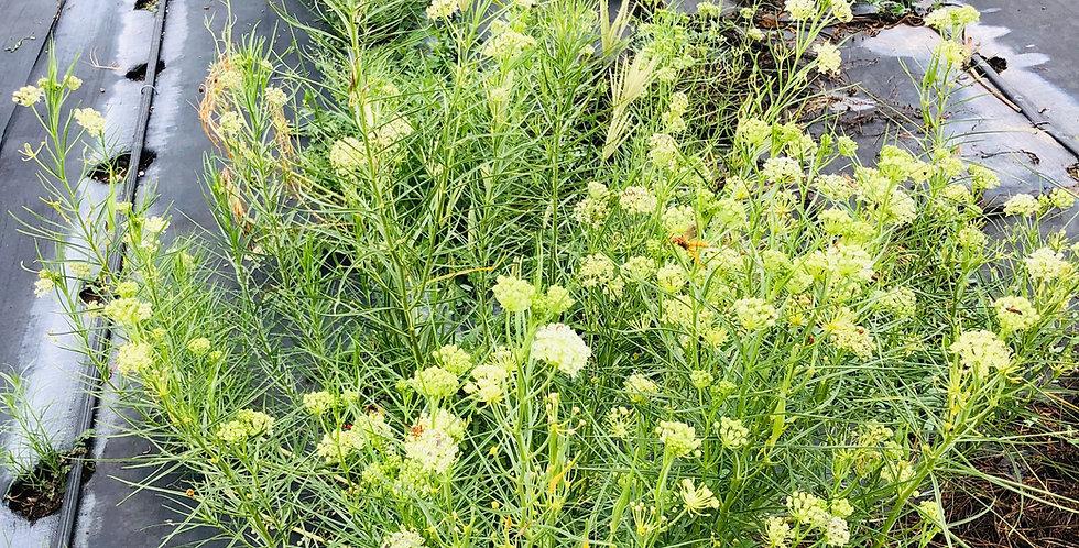 Horsetail Milkweed, Asclepias subverticullata