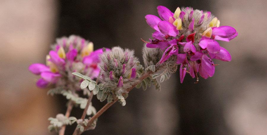 Santa Catalina Prairie Clover Seed, Dalea pulchra