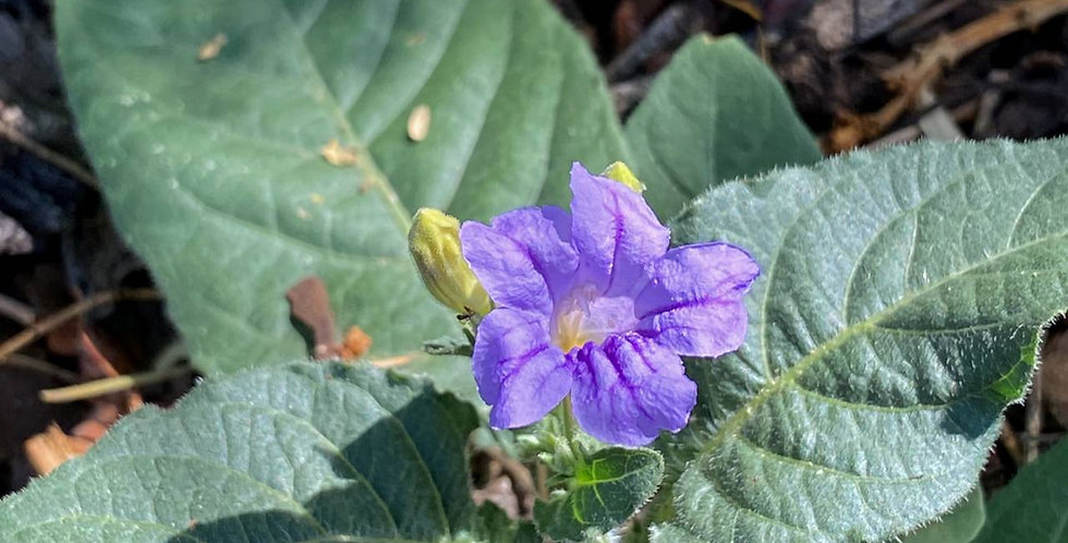 Violet Wild Petunia, Ruellia nudiflora