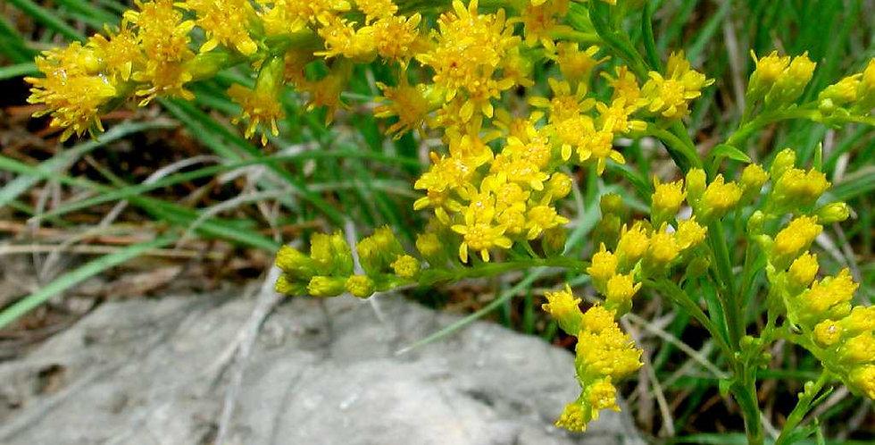 Missouri Goldenrod, Solidago missouriensis