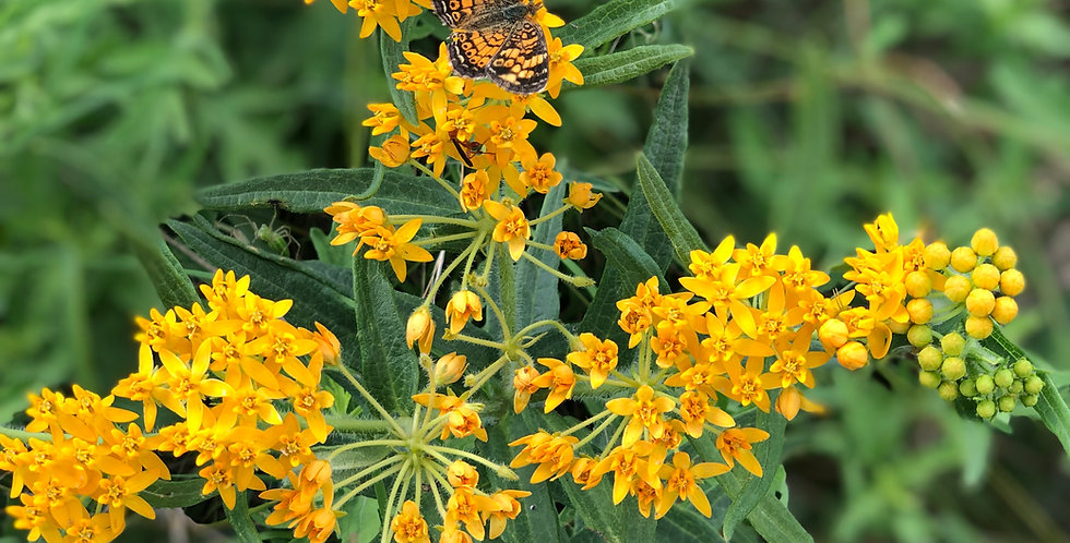 Butterfly Weed Seed, Asclepias tuberosa