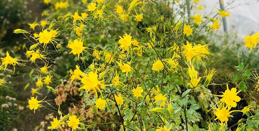 Golden Columbine, Aquilegia chrysantha