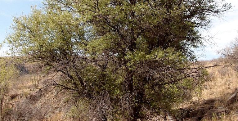 Yewleaf Willow, Salix taxifolia