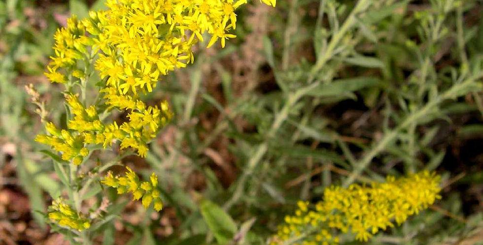 Three-nerve Goldenrod Seed, Solidago velutina
