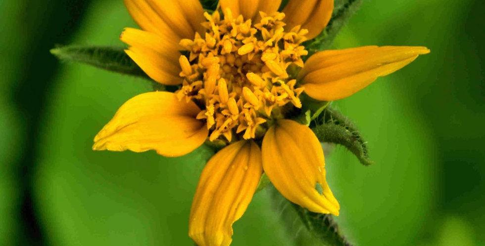 Arizona Sunflowerweed Seed, Tithonia thurberi