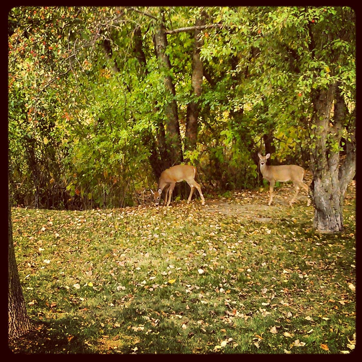 LV deer