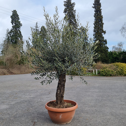 Large Gnarly Olive Tree