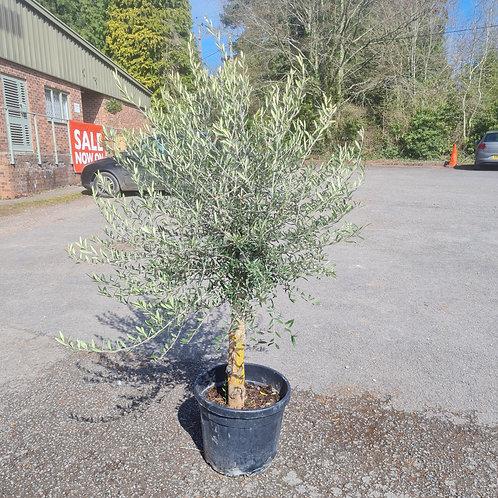 Standard Mature Olive Tree 10
