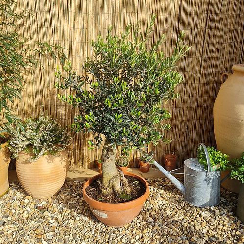 Bonsai Style Olive Tree 9
