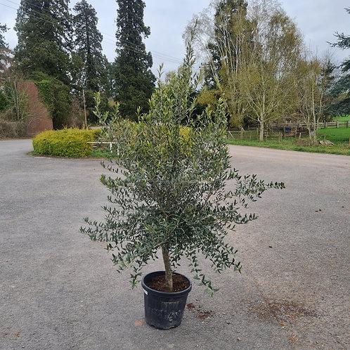 Short Mature Olive Tree