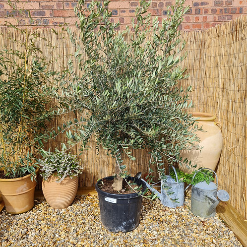 Short Mature Olive Tree
