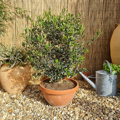 Bonsai Style Olive Tree 12
