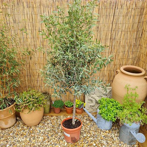 Half Standard Plus Olive Trees