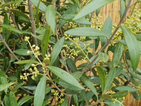 Thomas Writes: Caring For Your Olive Tree