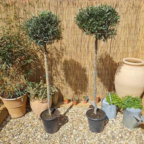 Pair of Tall Olive Trees