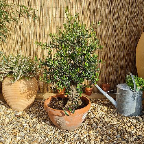 Bonsai Style Olive Tree 8