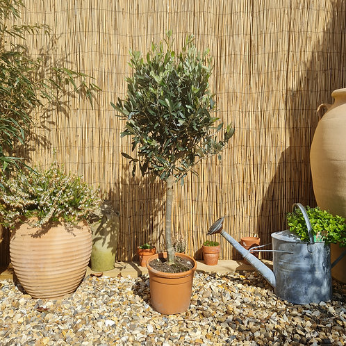 Fresh Small Olive Trees